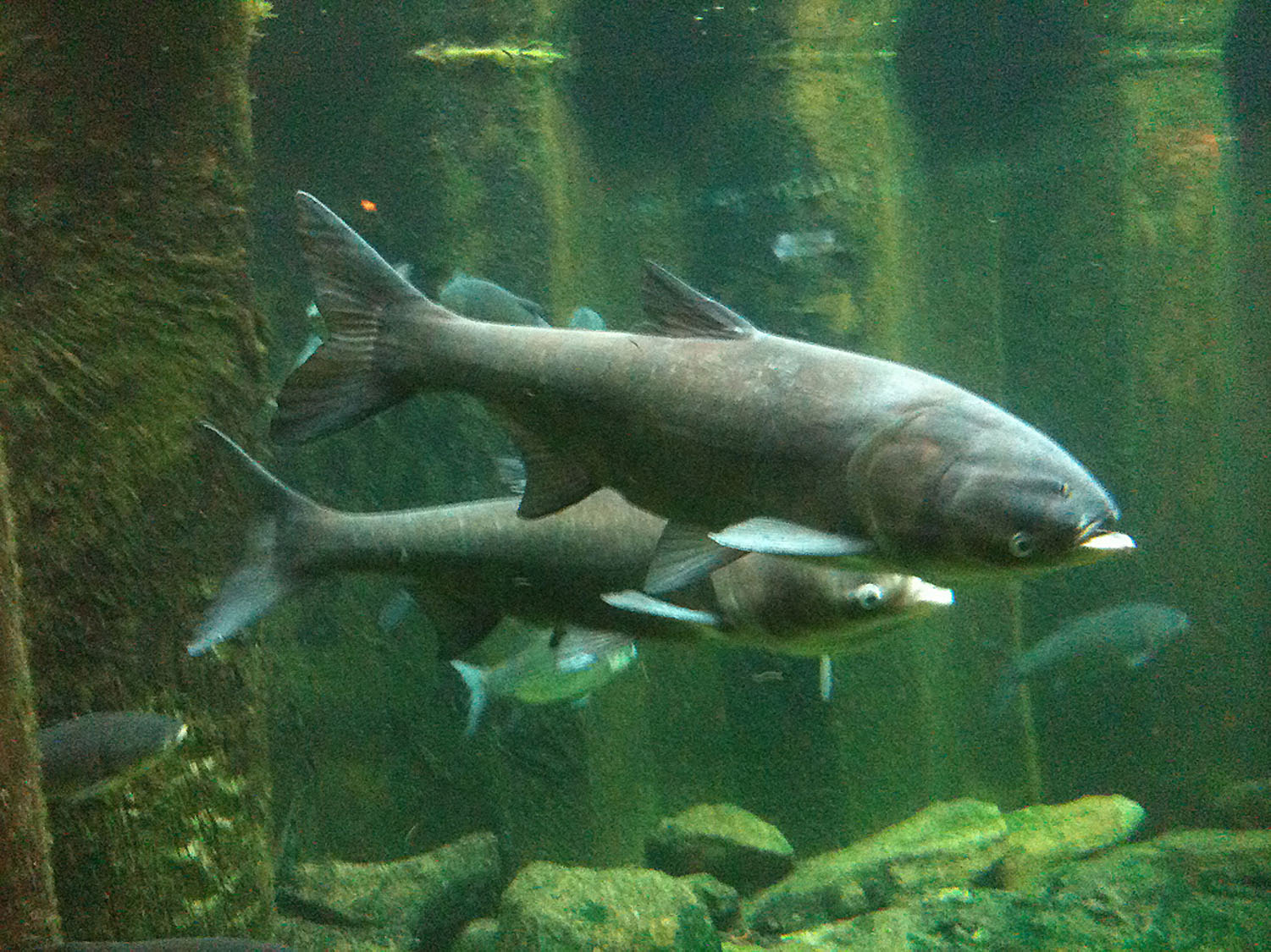 Asian Carp Woes Adventure Sports Journal