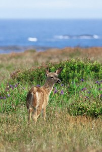 Mule deer browsing on the Mendocino Headlands. Photo: Chuck Graham