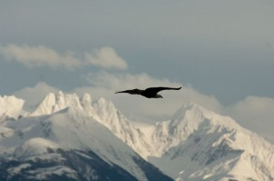 An eagle in Alaska represents the free spirit of Shane. Photo: Hank de Vré