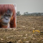 The explosion in palm oil use, largely to replace unhealthy trans fats in food, has wreaked havoc on tropical rainforest ecosystems across Southeast Asia, pushing some endangered species -- including orangutans like the one pictured here -- to the brink. Credit: Orangutan: Roger Smith; Clearcut: Greenpeace