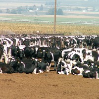 EarthTalk: The Link between Bacteria Resistance to Antibiotics and Factory Farming