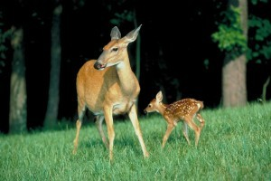 Do We Really Need to Cull Deer Herds?