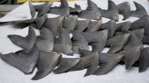 The Nasty Business of Shark Finning
