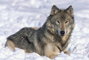 Wolf Protection in the Northern Rocky Mountains