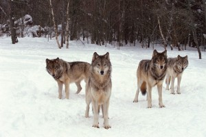 Returning Predators to the Wild