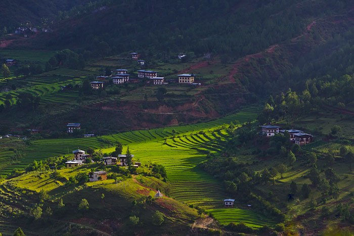 Looking down onto the  morning light cast on a village rice paddy. Taken while on a run. Photo: Terri Schneider