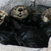 Fat Tire Tuesday: The Sea Otters