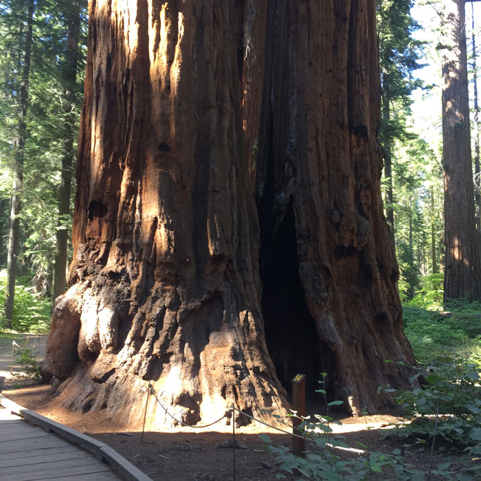 Could it be Abraham Lincoln? Many Sempervirens have been named throughout the park.