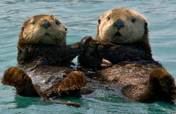 Sea Otter Survey Released