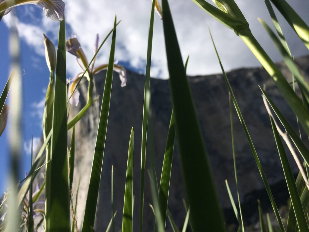 Photo of El Cap taken from the ground framed by grass and flowers. Stewardship during COVID-19